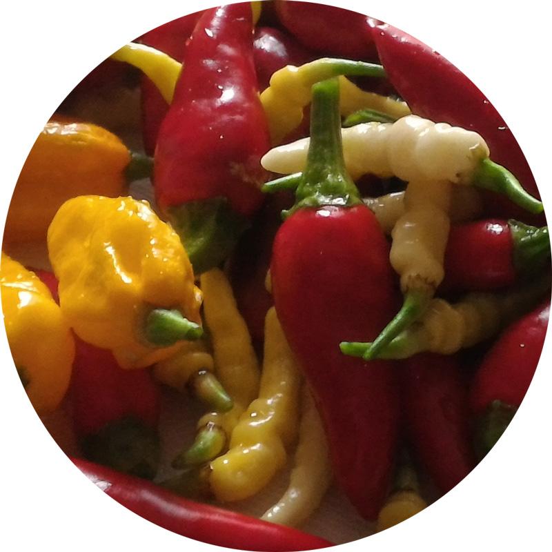 peperoncini-botanica