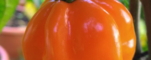 Pimenta Petra Orange